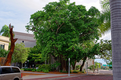 Banyan Tree - Main Street - Downtown - Ft. Myers, Florida