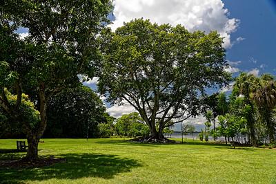 Mysore Fig Tree