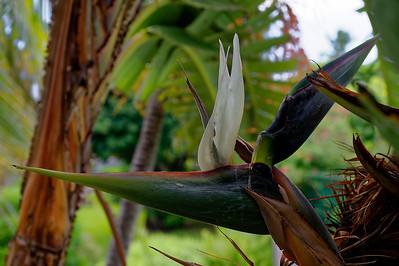 White Bird Of Paradise Bloom