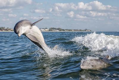Atlantic Bottlenose Dolphin (Tursiops truncatus)