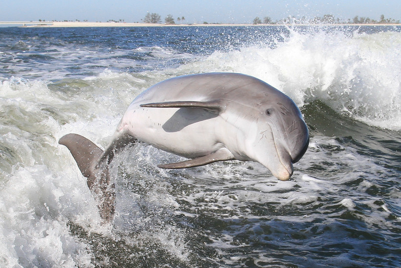 Atlantic Bottlenose Dolphin (Tursiops truncatus)