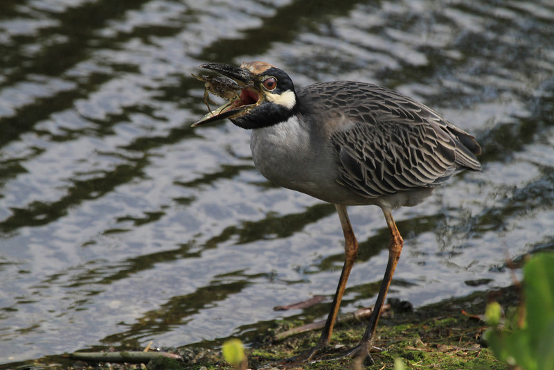 Yellow-Crowned Night Heron (Nyctanassa violacea)