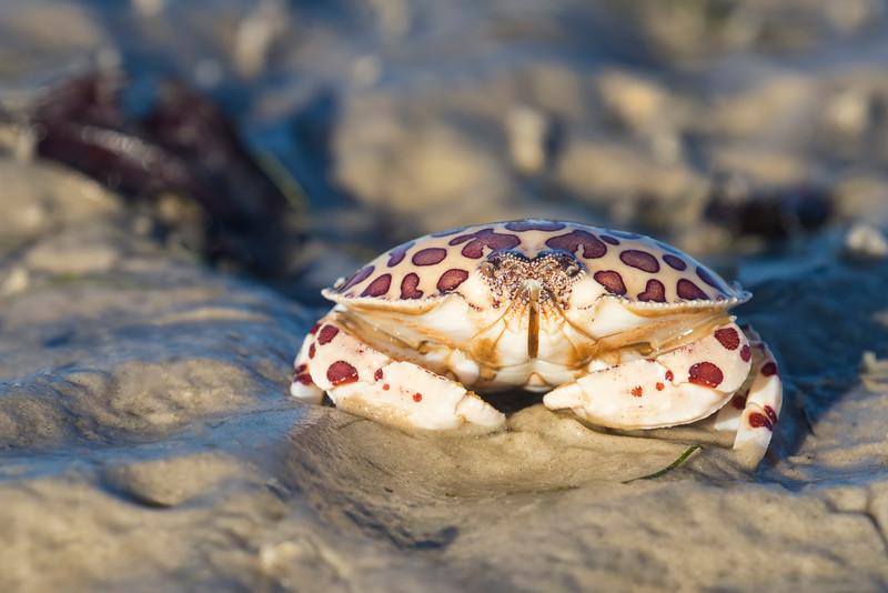 Calico Box Crab (Hepatus epheliticus)