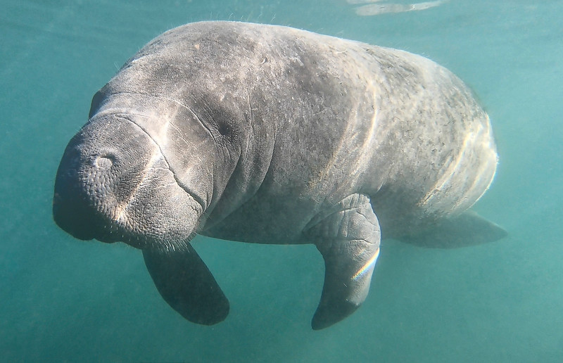 Florida Manatees (Trichechidae Trichechus)