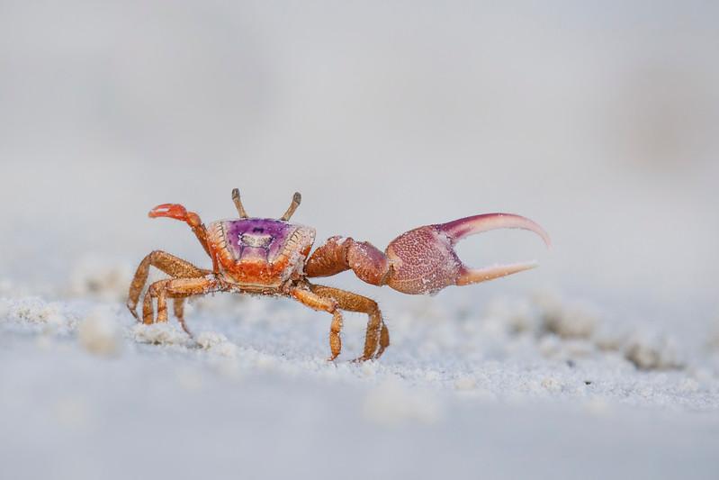 Sand Fiddler Crab (Uca pugilator)