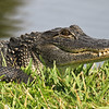 American alligator (Alligator mississippiensi)