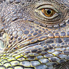 Green Iguana (Iguana iguana)