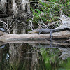 American alligator (Alligator mississippiensi)