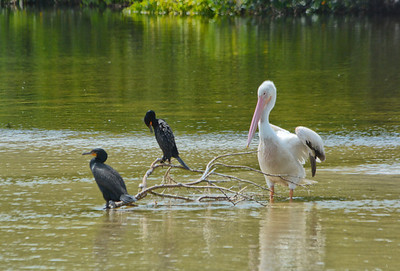 white pelican and cormorants-2
