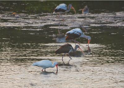 Ibis grouping