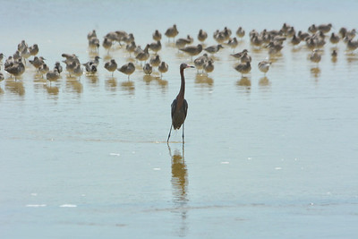 Great Blue Heron and willets