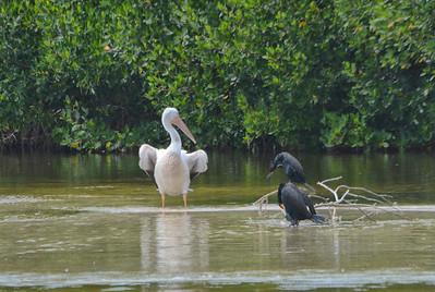 white pelican and cormorants