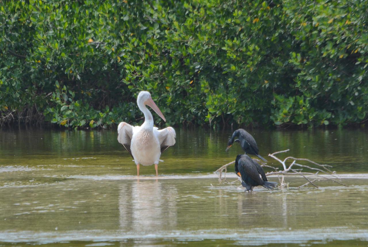 white pelican and cormorants