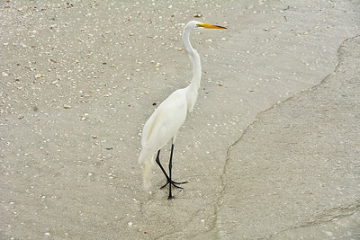 Great Egret on beach