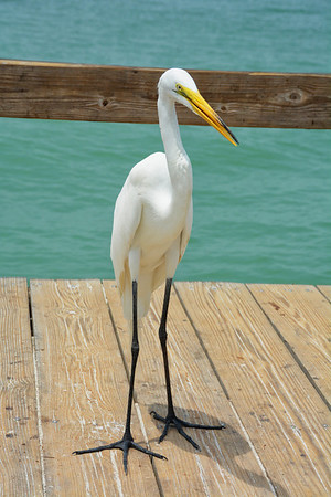 Great Egret on pier