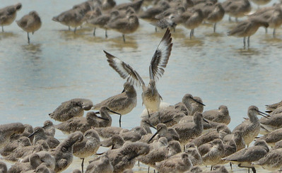 Willets-2 DingDarling