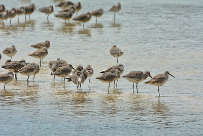 Willets DingDarling Wildlife Reserve