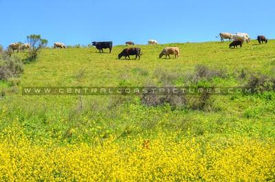 cows-gaviota_5519