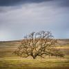 oak tree-8206-2