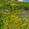 gaviota wildflowers-5670