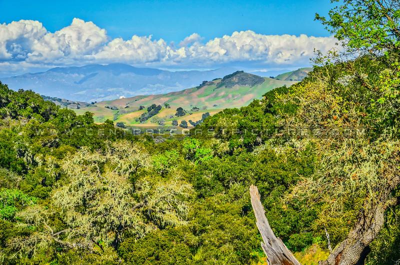 oak trees green hills-5778