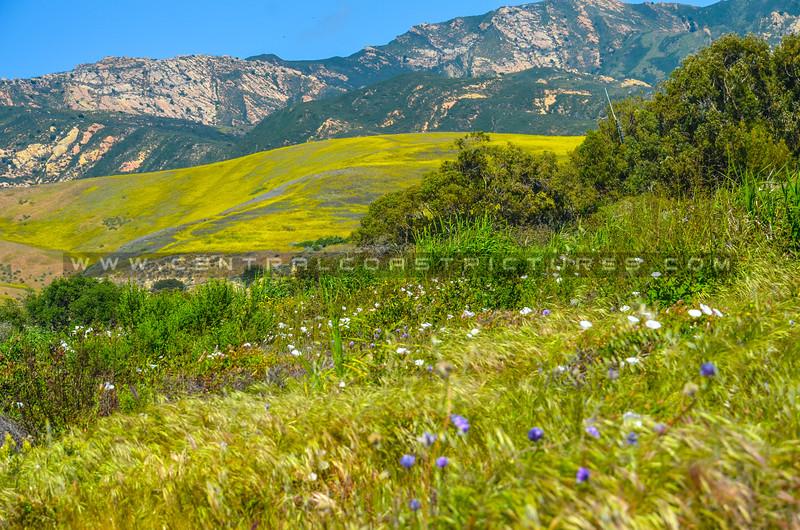 gaviota wildflowers-5656