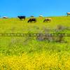 SB county cows-5519