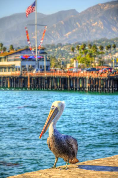santa-barbara-pier-pelican_2034