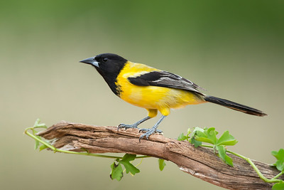 Audubon's Oriole Santa Clara Ranch South Texas