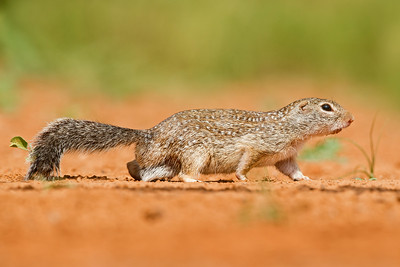 Ground Squirrel Santa Clara Ranch South Texas