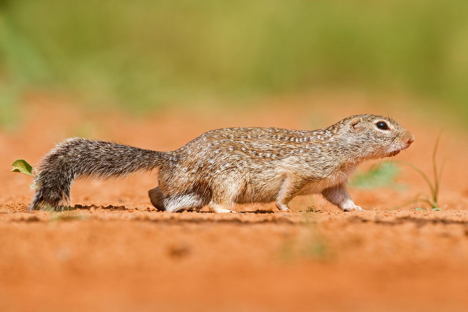 Ground Squirrel Santa Clara Ranch South Texas