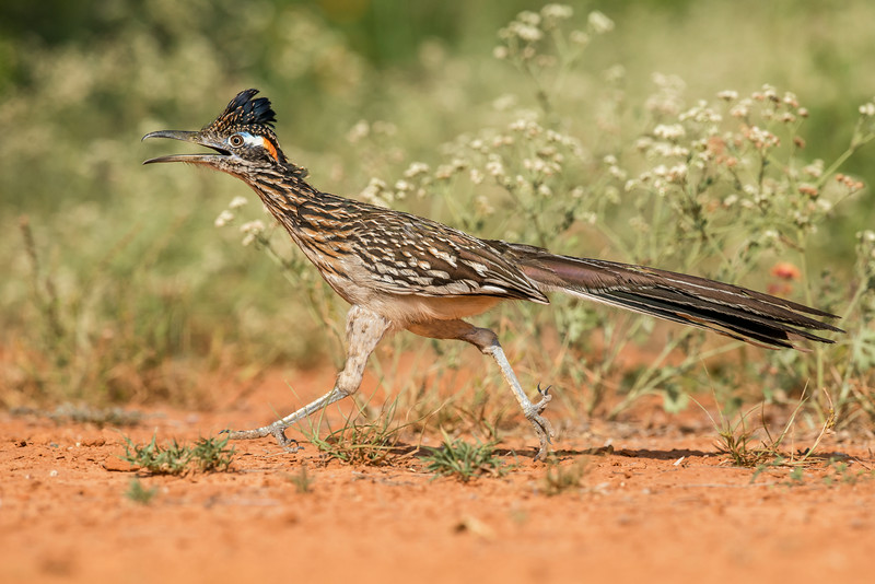 Greater Roadrunner Santa Clara Ranch South Texas
