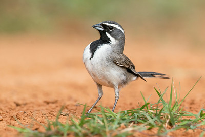 Black-throated Sparrow Santa Clara Ranch South Texas