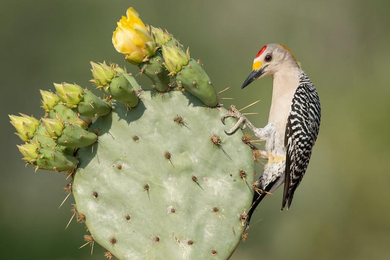 Golden-fronted Woodpecker Santa Clara Ranch South Texas