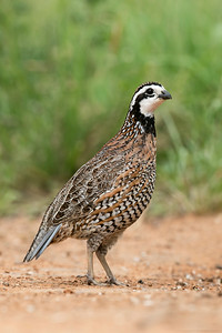 Northern Bobwhite Quail Santa Clara Ranch South Texas