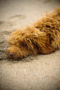 1478-d3_Cindy_Labradoodle_Griffin_Santa_Cruz_Pet_Photography