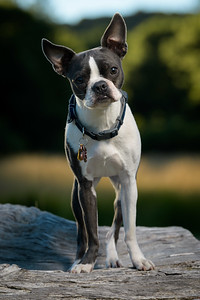 Orrie the Boston Terrier poses for the camera