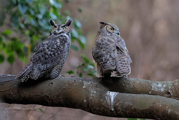 Santa Cruz Great horned owls