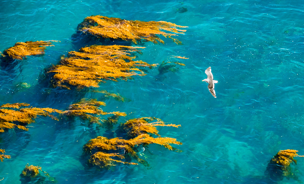 Gull over the kelp beds
