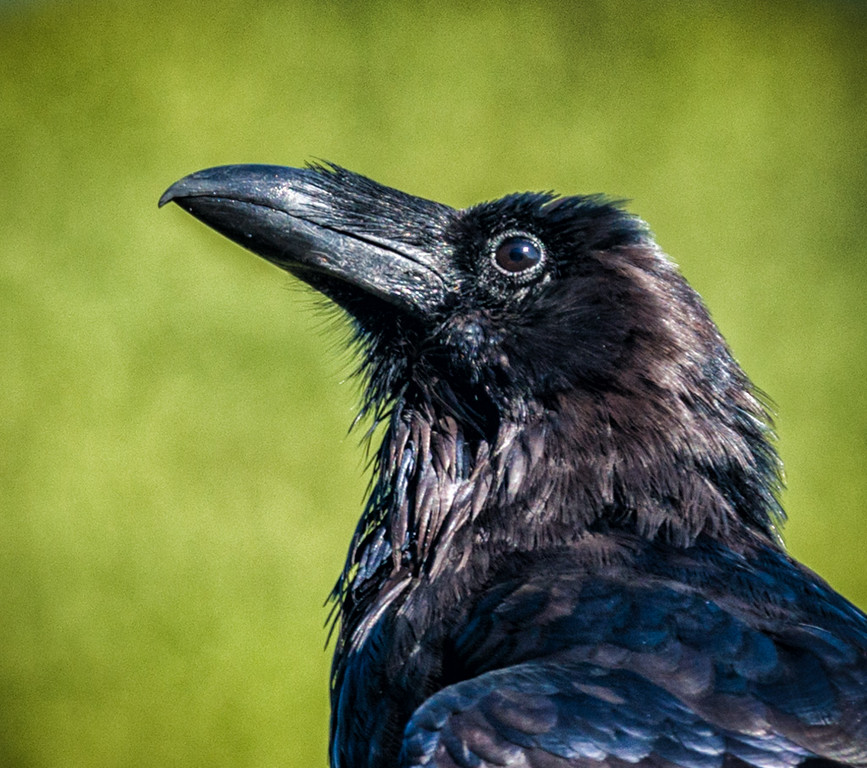 Raven in a fig tree