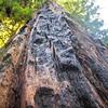 Redwood tree in Big Basin State Park, California, July 2017.