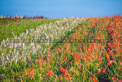 lompoc flowers_0363-0363