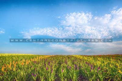lompoc flowers-0298