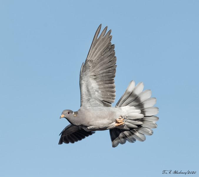 Band-tailed Pidgeon