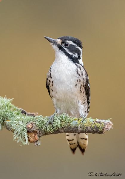 Nutthall's Woodpecker