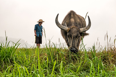 Water Buffalo and Farmer