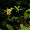 Aquilegia chrysantha
