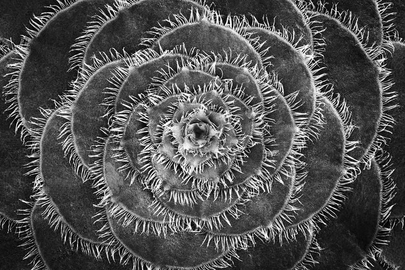 Aeonium Tabuliforme Succulent