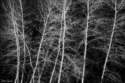 Winter Limbs