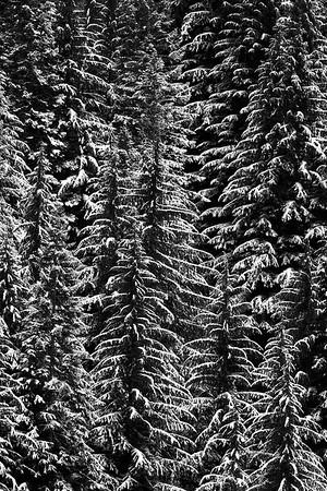 Winter Boughs